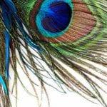 peacock-2015